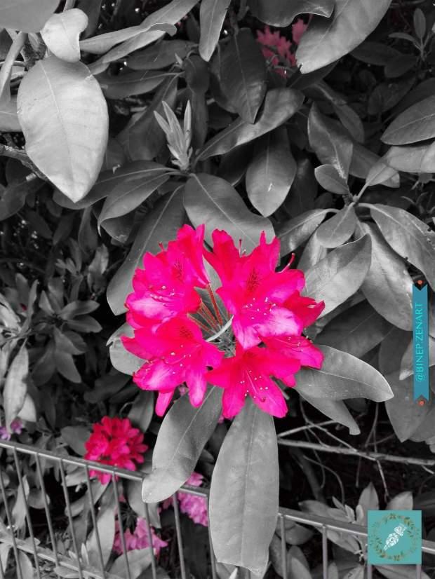 Rhododendron-splash