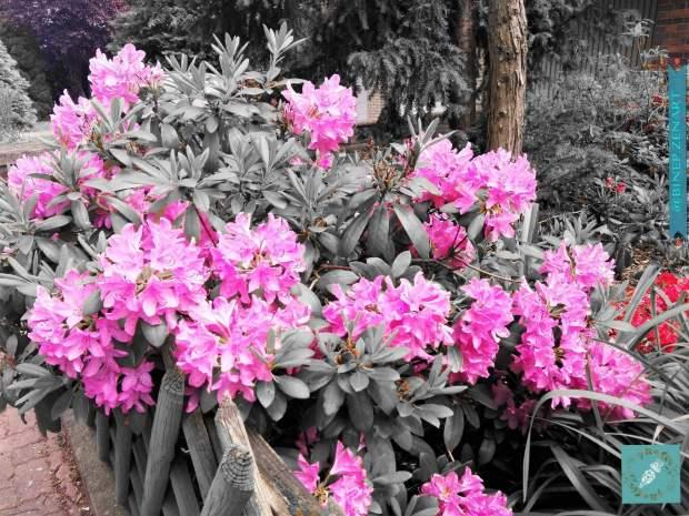 Rhododendron-splash0